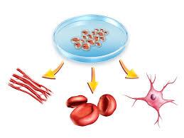 kamieninės ląstelės
